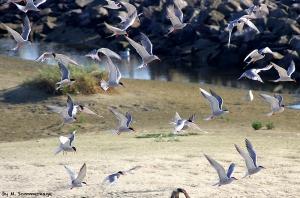 Flussseeschwalben_fliegend_Sommerhage