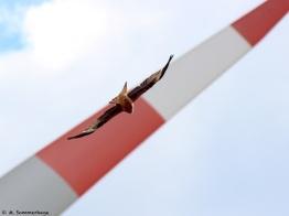 Rotmilan und Windenerige, 1