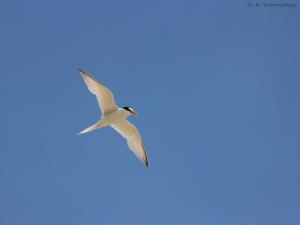 Zwergseeschwalbe_fliegend_Sommerhage